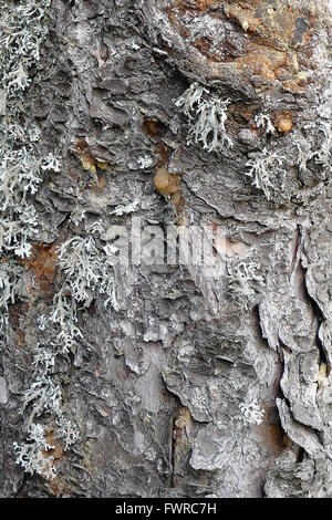 Pine bark with lichen. - Stock Image