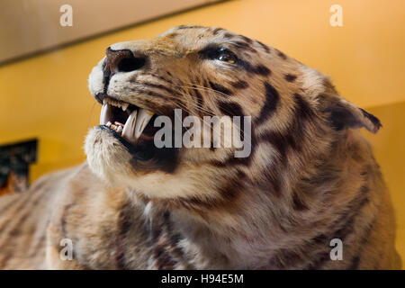 View of the head of a Tiger taxidermy. - Stock Image