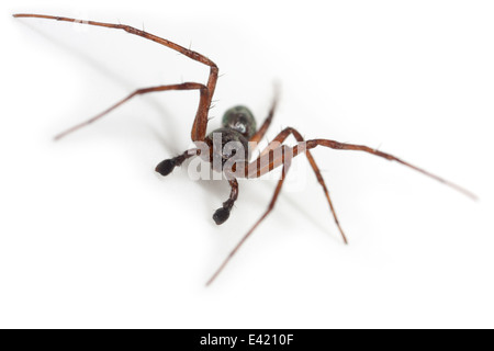 Male Philodromus aureolus spider, part of the family Philodromidae - Running crab spiders. Isolated on white background. - Stock Image