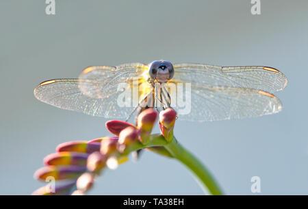 Blue Dasher dragonfly (odonata) resting on a lucifer flower - Stock Image