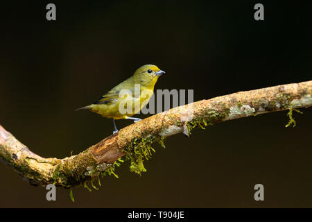 A female Violaceous Euphonia (Euphonia violacea) from the Atlantic Rainforest of SE Brazil - Stock Image
