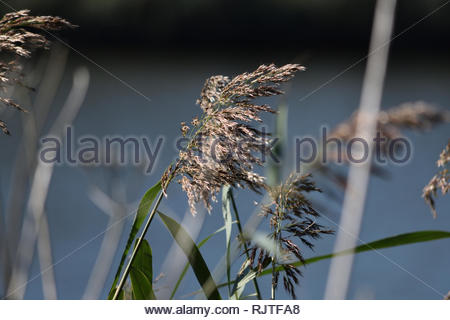 Common reed on a wetland - Stock Image