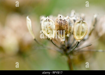 Hogweed or Cow Parsnip (heracleum sphondylium), close up of a group of seed pods with low depth of field. - Stock Image