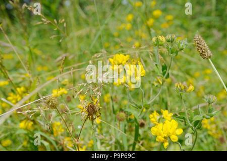 Lotus uliginosus, Greater Birdsfoot Trefoil flowering in meadow grassland, Wales, UK. - Stock Image