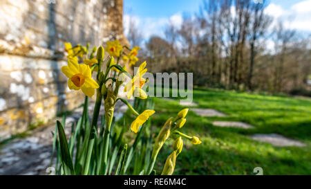 Wareham, UK. Sunday 20th January 2019. Daffodil flowers come out unusually early on a sunny day in the middle of January 2019. Credit: Thomas Faull/Alamy Live News - Stock Image