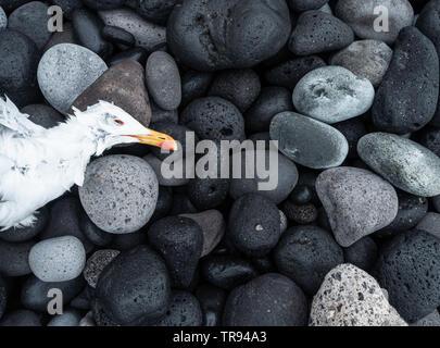 Dead Gull on beach. - Stock Image