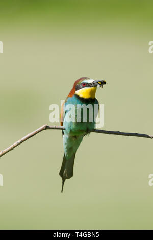 Male European bee-eater, Latin name Merops apiaster, perched on a branch with an bee in its beak - Stock Image