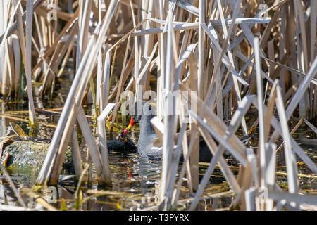 Adult moorhen (Gallinula chloropus) tending to a young duckling amongst marshland reeds - Stock Image