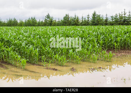 Corn field flooded with excess rain water due to the effects of climate change, Quebec, Canada - Stock Image