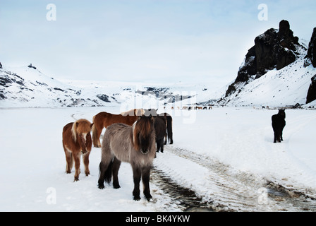 Icelandic ponies, photographed on a snowy field - Stock Image