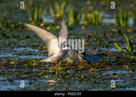 White-Cheeked Tern male bringing fish to a female Tern in Danube Delta Romania wildlife bird photography in the Danube - Stock Image