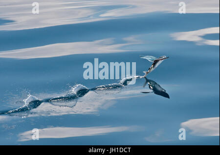 Indian Ocean Flying Fish, taking off, leaving water trail, Maldives, Indian Ocean - Stock Image