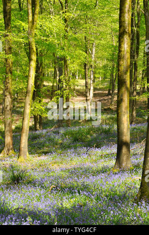 Bluebells in sunlite beech woods convey a peaceful,tranquil feeling to assist general wellbeing. Somerset.UK - Stock Image
