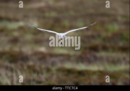 Male Hen Harrier (Circus cyaneus) returning to nest with prey in it's talons, North Uist, Outer Hebrides, Scotland - Stock Image