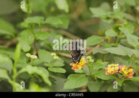 Spicebush Swallowtail butterfly Papilio troilus on shrub verbena flower plant Lantana camara with partially open - Stock Image