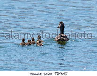 Mallard, Anas platyrhynchos, hen with ducklings swimming on pond in Arizona USA - Stock Image