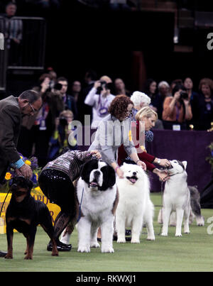 New York, USA. 12th Feb 2019. Westminster Dog Show - New York City, 12 February, 2019:  Working Group dogs awaiting final judging at the 143rd Annual Westminster Dog Show, Tuesday evening at Madison Square Garden in New York City. Credit: Adam Stoltman/Alamy Live News - Stock Image