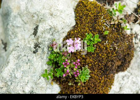 wild thyme growing on moss, Cressbrook Dale NNR Peak District National Park June 2014 - Stock Image