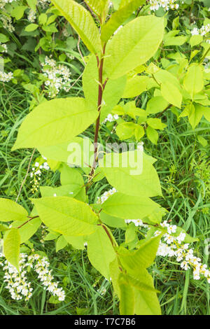 Bird Cherry young shoot (Prunus padus) also known as Black Dogwood growing on a nature reserve in the Herefordshire UK countryside. April 2019 - Stock Image