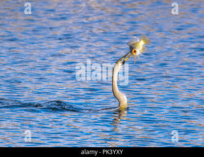 Anhinga catches a fish in the Florida Everglades. - Stock Image