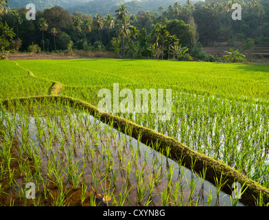 Rice being farmed on terraced rice paddies in India Asia - Stock Image