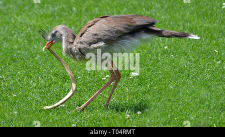 Red Legged Serima at Tropical Wings Zoo, Chelmsford, Essex, UK. This zoo closed in December 2017. - Stock Image