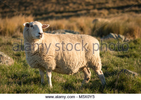 Single sheep on a pasture at sunset, Canterbury, New Zealand - Stock Image