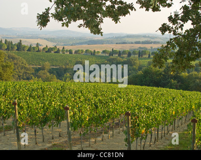 A vineyard at Monte Vibiano Vecchio, Province of Perugia, Umbria, Italy, AGPix_1999 - Stock Image