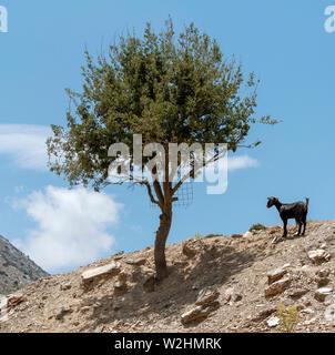 Crete, Greece. June 2019. A Cretan mountain goat standing alone by a tree on a mountaintop. - Stock Image