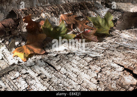 fallen leaves on birch bark - Stock Image
