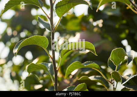 Apple tree, leaves and branches, Elizabethtown, Lancaaster County, Pennsylvania, USA - Stock Image