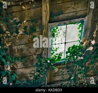 Window in a Old  Shed  and growing Ivy - Stock Image