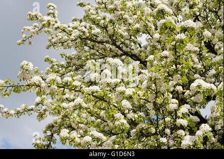 White apple tree blossoms macro, Malus flowering in spring season in Poland, Europe, plenty flowers on the lush - Stock Image