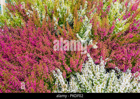 Mass of purple and white heather plants without labels in a garden centre - Stock Image