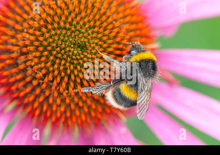 Bee on pink Echinacea flower - Stock Image