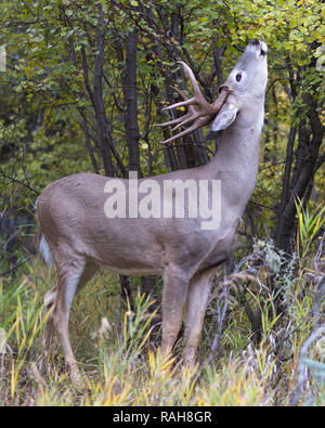 White-tailed Deer buck (Odocoileus virginianus) browsing on River Birch tree (Betula occidentalis) - Stock Image