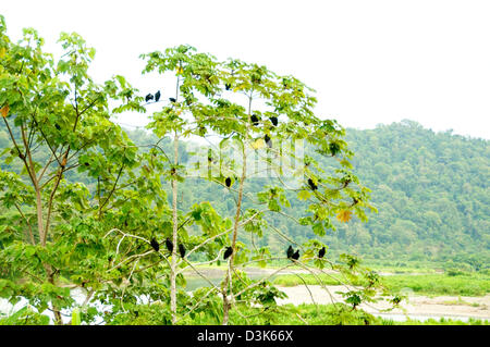 several vultures in a tree in Costa Rica a wide view - Stock Image