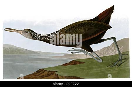 Limpki n, Aramus guarauna, birds, 1827 - 1838 - Stock Image