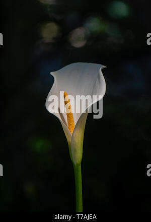 Selective focus and close-up view of white calla lilly with yellow spadix in nature, centered, with copy space, the background is green, side view - Stock Image