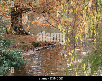 View of water's edge of small lake in late Autumn, with ducks and attractive autumnal colours and foliage.Ripples - Stock Image