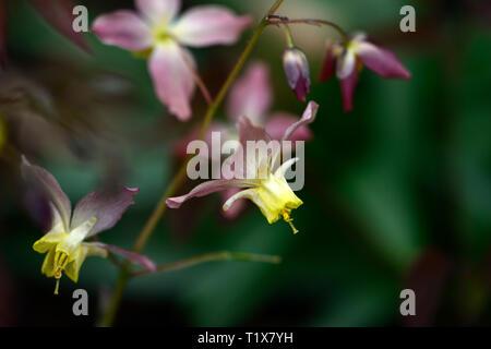 Epimedium x versicolor Cupreum,flowers,woodland,perennials,barrenwort,shade,spring,shady,shaded,RM Floral - Stock Image