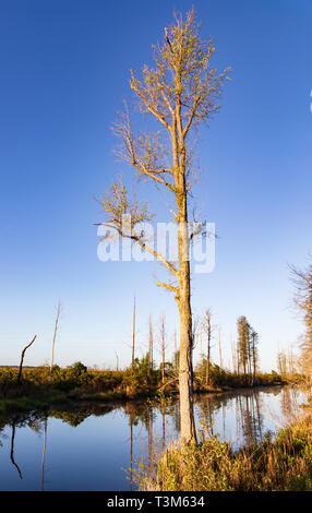 A slender single tupelo tree on edge of swamp canal in early spring.   Reflection of trees on far bank show in still water. Bright blue sky. - Stock Image