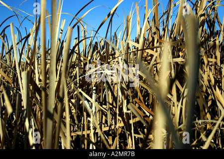 A deep patch of reeds during the day. - Stock Image