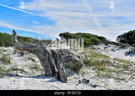 Giant weathered tree stump and trunk of a dead sand oak tree in the sand dunes along the panhandle Florida Gulf coast, USA. - Stock Image