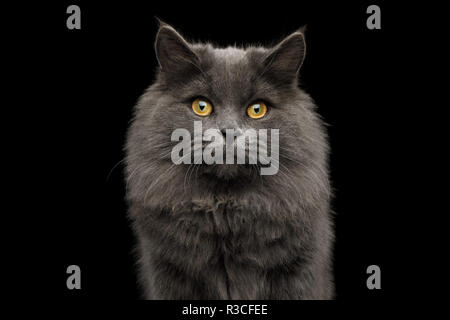 Portrait of Adorable Gray Cat Looking in camera on Isolated Black Background - Stock Image