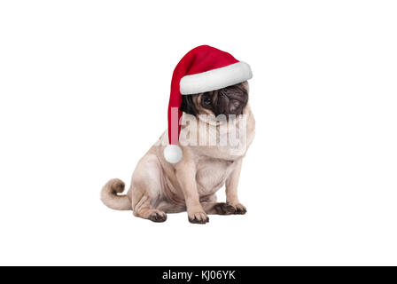 cute Christmas pug puppy dog with Santa hat, sitting down, isolated on white background - Stock Image