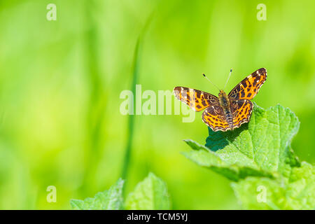 Close-up of the Map butterfly (araschnia levana) in spring season outfit with wings open, top view. - Stock Image