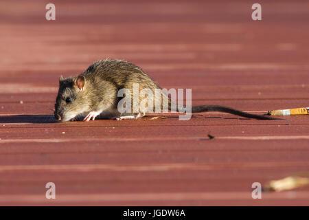 Travelling rat, Rattus norvegicus, Wanderratte (Rattus norvegicus) - Stock Image