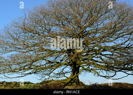 Bare branches of an oak tree in winter against a blue sky Pembrokeshire Wales UK - Stock Image