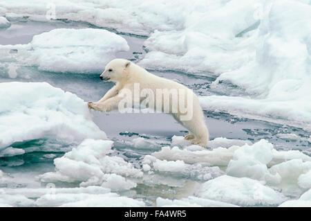 Cute Polar Bear Cub, Ursus maritimus, jumping from an ice floe on the Olgastretet Pack Ice, Svalbard Archipelago, - Stock Image